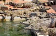 Cận cảnh trang trại cá sấu lớn nhất miền Bắc ở Hải Phòng