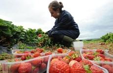 Mùa thu hoạch đến, Anh phải 'cầu cứu' các công nhân từ EU