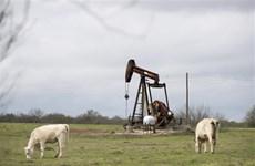 Sau khi rớt giá thê thảm, dầu WTI tăng trở lại lên mức trên 13 USD