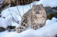 Kazakhstan: Phát hiện loài báo tuyết hiếm gặp 'dạo chơi' gần Almaty