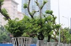 [Video] Dựng hàng rào sắt kiên cố bảo vệ cây gỗ sưa tiền tỷ