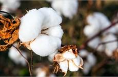 Ấn Độ nỗ lực đẩy mạnh xuất khẩu bông sang Việt Nam và Bangladesh