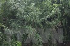 Đắk Nông: Phát hiện người dân trồng cây cần sa xen trong rẫy càphê