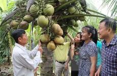 Nhu cầu của du khách tăng cao, dừa sáp Trà Vinh được giá