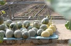 Mô hình trồng dưa lưới công nghệ cao, thu lãi tiền tỷ ở Hưng Yên