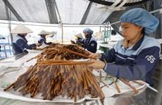 [Photo] Quế Văn Yên từ cây xóa đói giảm nghèo thành cây làm giàu