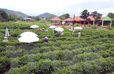 Du lịch cộng đồng ở vùng 'đệ nhất danh trà' của Thái Nguyên