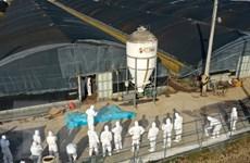 Dịch cúm gia cầm độc lực cao tại Hàn Quốc diễn biến phức tạp