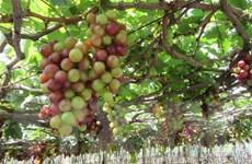 Ninh Thuận: Nho vụ Tết được giá, người trồng phấn khởi