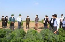 Hàn Quốc nhập khẩu cà rốt của Hải Dương, thị trường sôi động trở lại