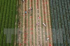 Ngắm cánh đồng chuyên canh rau an toàn của nông dân huyện Mê Linh