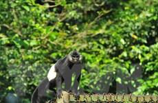 Bảo tồn quần thể voọc mông trắng quý hiếm tại tỉnh Hà Nam