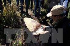Đà Lạt: Xử lý nghiêm đối tượng chặt hạ thông cổ thụ tại khu đất vàng