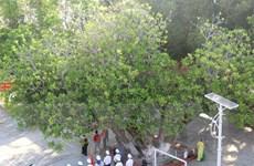 [Photo] Cây di sản - cột mốc chủ quyền trên quần đảo Trường Sa
