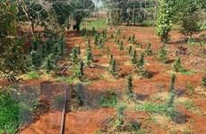 Đắk Lắk siết chặt xử lý tình trạng trồng cây chứa chất ma túy