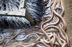 Hiệu quả từ nuôi thâm canh lươn đồng theo công nghệ tuần hoàn nước