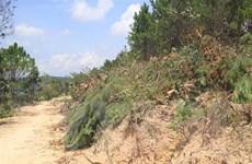 Lâm Đồng: Phát hiện thêm một vụ phá rừng thông lấy đất sản xuất