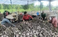 Đồng Tháp hỗ trợ tiêu thụ hơn 6.000 tấn khoai lang tím tồn đọng