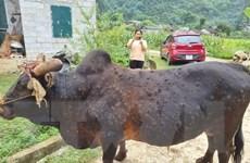 Cao Bằng: Nắng nóng, bệnh viêm da nổi cục trên trâu bò bùng phát mạnh