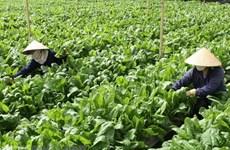 Giá nhiều lại rau ở Đà Lạt giảm mạnh, sức tiêu thụ chững lại