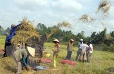 Thị trường nông sản tuần qua: Giá lúa khu vực ĐBSCL ổn định