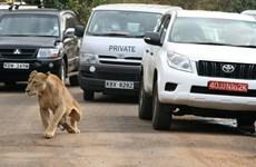 Kenya: Sư tử trốn khỏi vườn thú gây náo loạn khu phố đông người