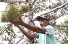 Khánh Hòa tìm đường cho trái cây Khánh Sơn 'xuống núi'