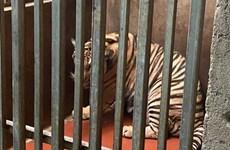 Công an Nghệ An thông tin việc 8 cá thể hổ bị chết chưa rõ nguyên nhân