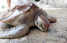 Thừa Thiên-Huế: Thả một cá thể rùa biển quý hiếm về với đại dương