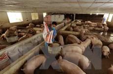 Hà Nội: Không để dịch tả lợn châu Phi lây lan ra diện rộng