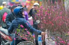 [Photo] Đào khoe sắc rực rỡ trên phố hoa lâu đời nhất Hà Thành