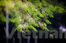[Photo] Hà Nội ngập tràn lãng mạn trong màu hoa sưa thanh khiết
