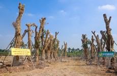Toàn bộ hàng cây đường Kim Mã chuyển về vườn ươm đều sống