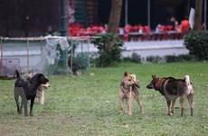 Hà Nội: Chó vẫn được thả rông bất chấp nhiều tai nạn chết người