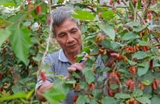 Hà Nội: Nông dân tất bật thu hoạch dâu tằm thu tiền triệu một ngày