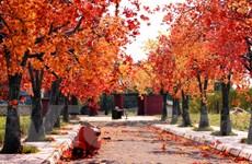 Ngắm con đường với 'hàng cây phong lá đỏ' đẹp như mơ ở Hà Nội