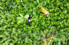 Ngắm sắc xanh của làng trồng lá dong lớn nhất Hà Nội dịp cận Tết