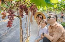 Nông trại nho trĩu quả ngay giữa Thủ đô thu hút người dân khám phá