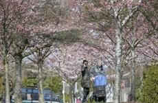 Hoa anh đào nở rộ, rực rỡ khoe sắc tại thành phố Vancouver