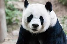 """[Video] Cuộc sống trong """"nhung lụa"""" của loài gấu trúc"""
