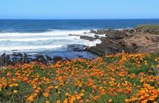 [Video] Mỹ: Mùa hoa nở tuyệt sắc ở bang California