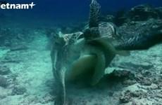[Video] Rùa đực cắn nhau dữ dội khi tranh giành con cái để giao phối