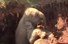 [Video] Cứu sống hai chú voi con ở Sri Lanka bị kẹt dưới hố đất