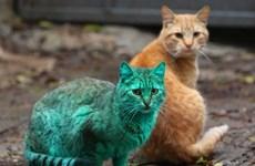 """[Video] Chú mèo có """"lông màu xanh ngọc"""" độc đáo tại Bulgaria"""