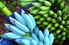 Kỳ lạ giống chuối màu xanh dương có vị tự nhiên như kem vani