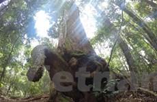 [Video] Độc đáo rừng cây pơmu di sản với muôn kiểu hình thù