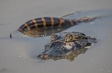 [Video] Trăn Anaconda khổng lồ đại chiến cá sấu dưới đầm lầy