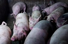 Thái Lan tiêu hủy hơn 200 con lợn đề phòng dịch tả lợn châu Phi