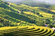 [Video] Ngắm ruộng bậc thang Hoàng Su Phì ngả vàng thơ mộng