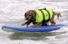 [Video] Mỹ: Cuộc thi chó lướt sóng ở bang California